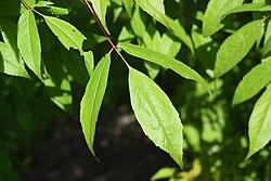 Acer mandshuricum leaf.jpg