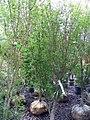 Acer palmatum Okushimo 0zz.jpg