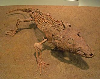 Olsoniformes - Skeleton of Acheloma cumminsi