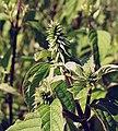 Achyranthes japonica.jpg