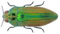 Acmaeodera excellens Klug, 1855 2.png