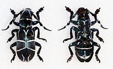 Acronia pretiosa (22051161304) .jpg