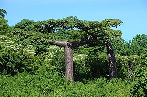 image of Adansonia suarezensis