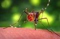 Aedes aegypti CDC09.tif