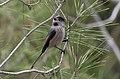 Aegithalos caudatus - Long-tailed Tit 2019-11-24 03.jpg