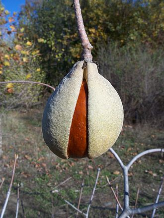 Aesculus californica - Seed of the California Buckeye in its husk