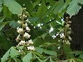 Aesculus hippocastanum flowers Frankfurt Stadtwald.jpg