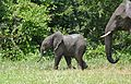 African Elephants (Loxodonta africana) calf with mother (17305235166).jpg