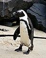African Penguin (Spheniscus demersus) (32919653175).jpg