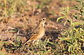 African Pipit, Anthus cinnamomeus, at Mapungubwe National Park, Limpopo, South Africa (18127303038).jpg