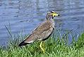 African Wattled Lapwing (38125579086).jpg