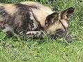 African Wild Dog (7669990632).jpg
