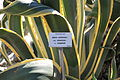 Agave americana museum Toulouse.jpg