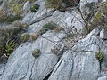 Agave victoriae-reginae and Echinocereus stramineus (5664136006).jpg