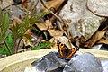Aglais urticae (14420093608).jpg