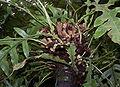 Aglaomorpha cornucopia 001.jpg