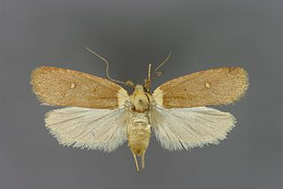 <i>Agonopterix</i> genus of insects