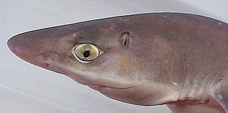 Spiny dogfish - Image: Aiguillat commun (tete)