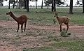 Al pacas in a field-01+ (2148532786).jpg