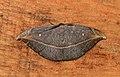 Albara hollowayi (Drepanidae- Drepaninae) (6564958499).jpg