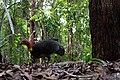 Alectura lathami -Queensland, Australia-8a (2).jpg