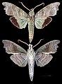 Aleuron chloroptera MHNT CUT 2010 0 152 Puerto Maldonado, Madre de Dios, Peru, male.jpg
