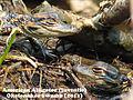 Alligator Baby 4.jpg