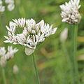 Allium cernuum-IMG 4315.jpg