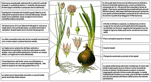 Allium Schoenoprasum Wikipedia