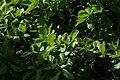 Almendro (Terminalia catappa) (14603251290).jpg