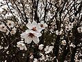 Almond-flower.jpg