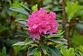Alpenrose (Rhododendron ferrugineum) (9135007571).jpg