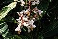 Alpinia zerumbet 25zz.jpg