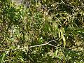 Alstonia venenata (8294489574).jpg