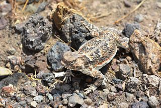 Coast horned lizard species of reptile