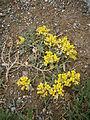 Alyssum cuneifolium 003.JPG