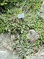 Alyssum moellendorfianum - Botanischer Garten, Frankfurt am Main - DSC02638.JPG