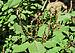 Amaranthus viridis 25042014.jpg