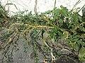 Amaranthus viridis sl53.jpg