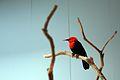 Amblyramphus holosericeus -National Aviary, Pittsburgh, Pennsylvania, USA-8a.jpg
