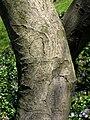 Amelanchier canadensis (bark), Mount Auburn Cemetery.JPG