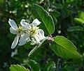 Amelanchier utahensis 5.jpg