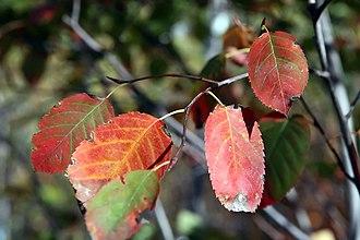 Amelanchier × grandiflora - Image: Amelanchier x grandiflora Autumn Brilliance 8zz