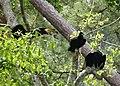 America Black Vultures. (Coragyps atratus) (24000901868).jpg