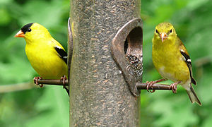 American goldfinch - Male (left) and female (right) at a thistle feeder