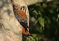 American Kestrel (Falco sparverius) (14547482002).jpg
