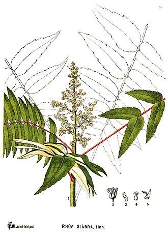 Rhus glabra - Botanical illustration