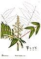 American medicinal plants (Plate 36) (6025397017).jpg