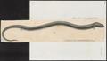 Amphiuma didactylum - 1700-1880 - Print - Iconographia Zoologica - Special Collections University of Amsterdam - UBA01 IZ11400179.tif