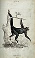 An ape of the genus ateles paniscus swing from a tree. Colou Wellcome V0020763.jpg